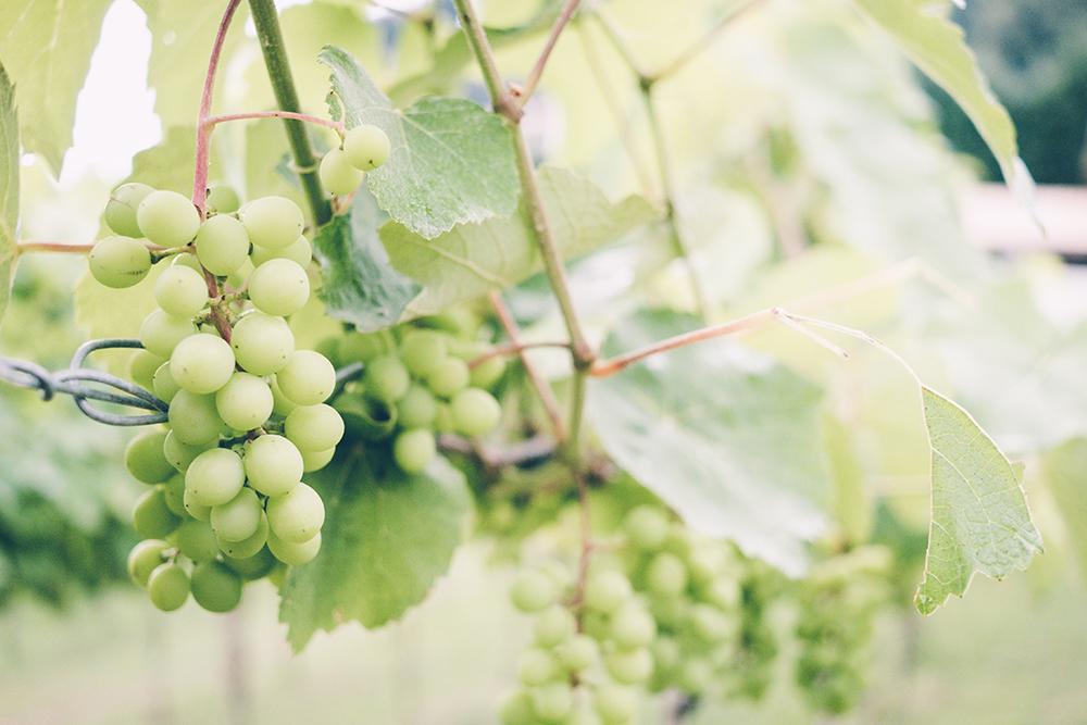 szőlőmagolaj, szőlő, krém, arc, bőr, tápláló, egészséges, tápanyag, hidratáló, ránctalanító, öregedésgátló, natúrkozmetikum, vegán, összetevő,